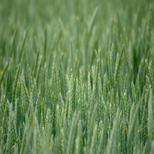 såsæd vinter hvede